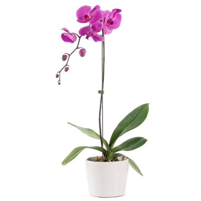 Purple Orchid Plant - 1 Stem Only