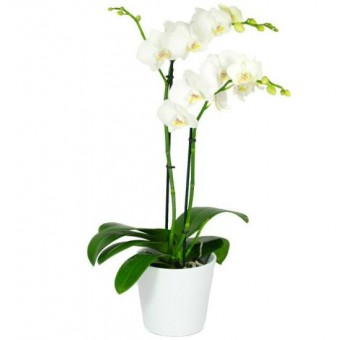 White Orchid Planter - 2 Stem