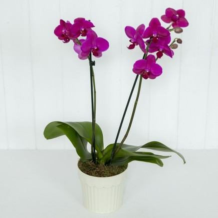 Purple Orchid Plant - 2 Stem